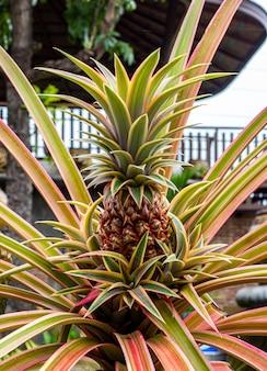 Feche acima da árvore de abacaxi no jardim. ananas comosus.