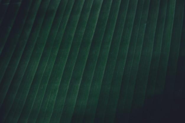 Feche acima da banana tropical deixa o fundo da textura. deixa a natureza fundo de tom verde escuro