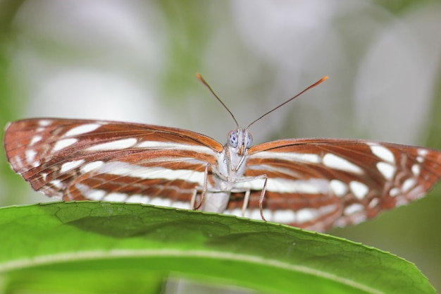 Feche acima da borboleta da cor da sobrancelha do detalhe