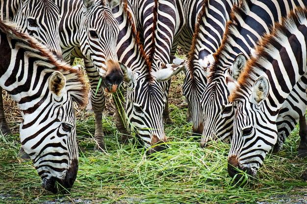 Feche acima da cabeça da zebra do detalhe muitas zebras estão comendo a grama.