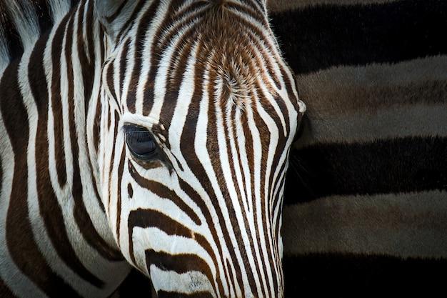 Feche acima da cabeça da zebra do detalhe.