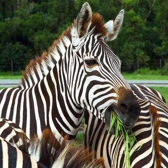 Feche acima da cabeça da zebra que está em muitos rebanhos da zebra.