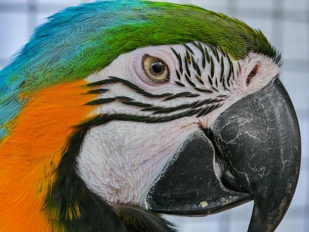 Feche acima da cabeça do macaw do azul e do ouro.