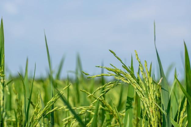 Feche acima da casca de arroz verde nos campos de arroz sob o nascer do sol da manhã e o fundo do céu