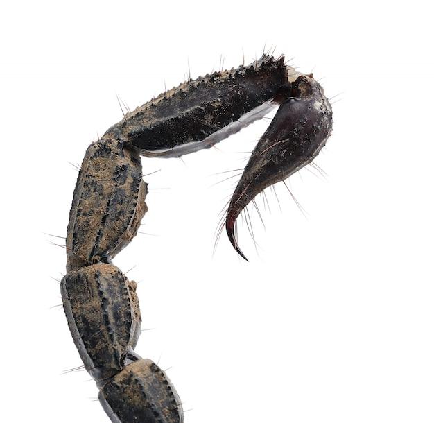 Feche acima da cauda de escorpião isolada no fundo branco