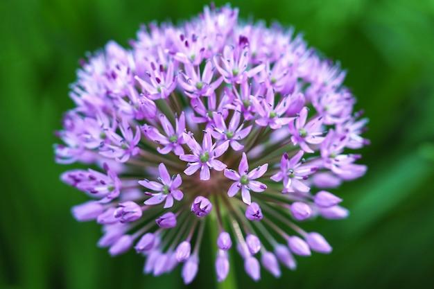 Feche acima da cebola decorativa roxa de florescência (allium hollandicum).