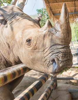 Feche acima da face branca do rinoceronte / rinoceronte, o chifre e o olho ao ar livre. tailândia.