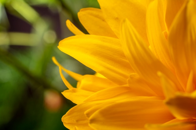 Feche acima da flor amarela, macro. floral e natural.
