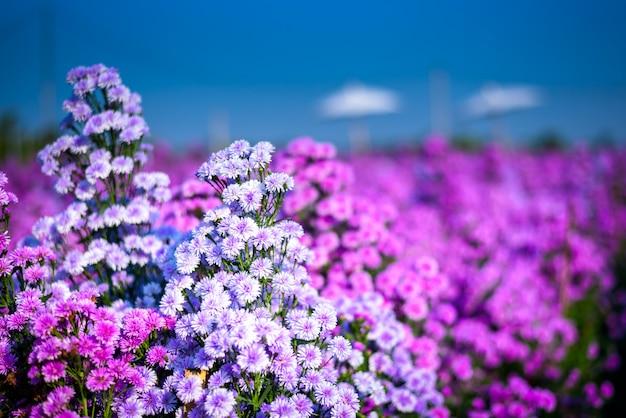 Feche acima da flor bonita da alfazema e do cortador no jardim da natureza, flores do verão