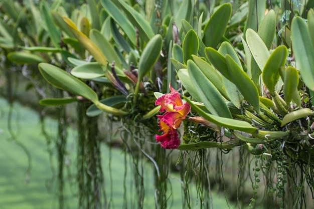 Feche acima da flor bonita da orquídea no jardim com fundo natural.