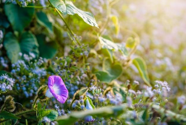 Feche acima da flor da glória de manhã azulada roxa com luz solar na manhã