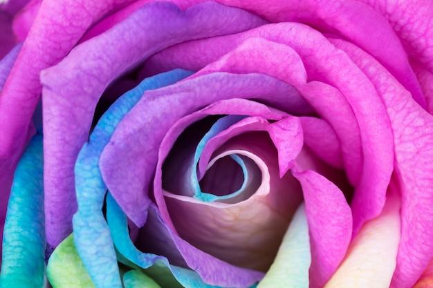 Feche acima da flor do arco íris com pétalas coloridas