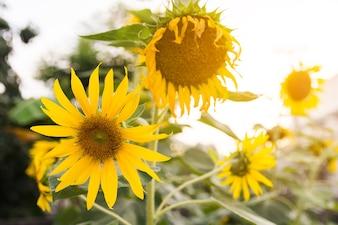 Feche acima da flor do girassol do verão no campo, fundo do natrue do girassol com espaço da cópia