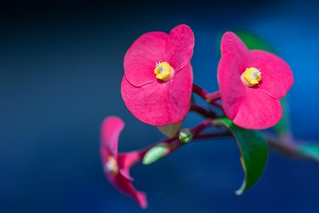 Feche acima da flor vermelha da coroa de espinhos. comum como conhecer a planta de cristo, ou cristo espinho. (euphorbia milii desmoul)