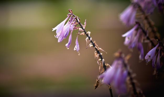 Feche acima da flor violeta. flores ao sol da tarde