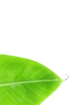 Feche acima da folha de bananeira isolada na superfície branca