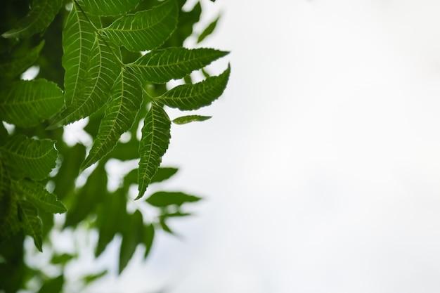 Feche acima da folha do verde da opinião da natureza no fundo claro branco do céu sob a luz solar e copie o espaço usando-se como as plantas naturais do fundo ajardinam, conceito do papel de parede da ecologia.