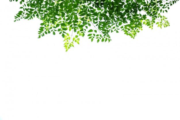 Feche acima da folha verde da árvore da cortiça da vista da natureza no fundo branco sob a luz solar e o copyspace