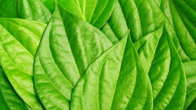 Feche acima da folha verde do gaiteiro do bétel para um fundo.