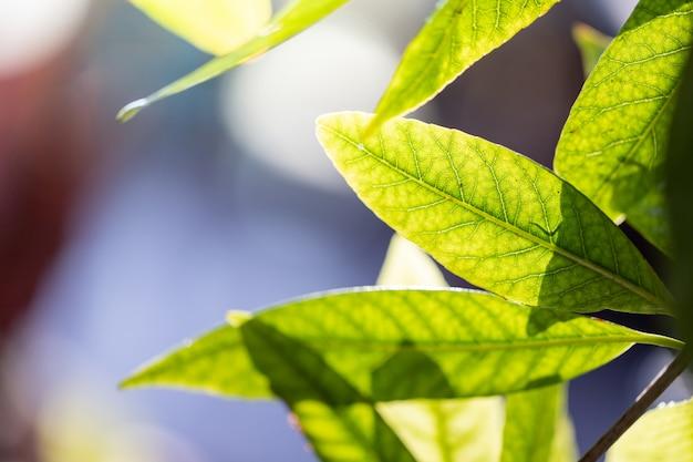 Feche acima da folha verde sob a luz solar no jardim. fundo natural com espaço de cópia.