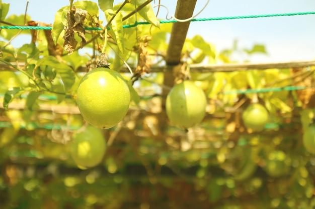 Feche acima da fruta de paixão que pendura no jardim.