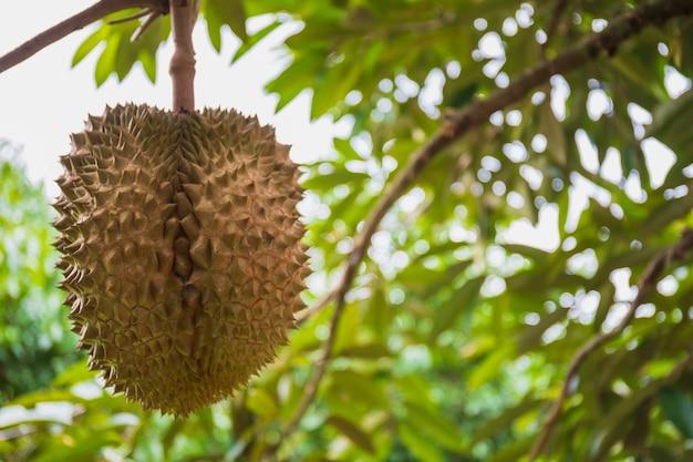 Feche acima da fruta fresca do durian na árvore na exploração agrícola orgânica.