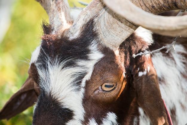 Feche acima da ideia da cabeça da cabra marrom no campo.