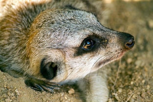 Feche acima da ideia de um meerkat ou de um suricate pequeno (suricatta do suricata) na sujeira.