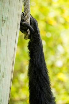 Feche acima da ideia de uma mão do macaco do gibbon do siamang (syndactylus do symphalangus).