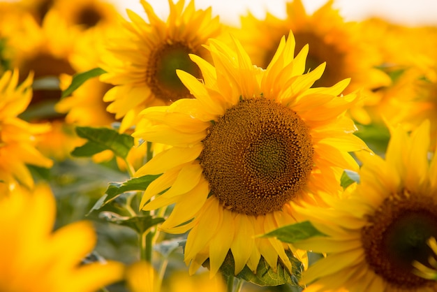 Feche acima da imagem de girassol amarelo brilhante, rodeado por inúmeros outros girassóis
