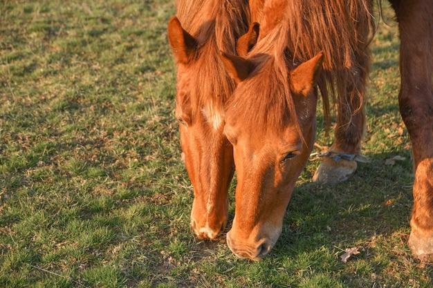Feche acima da imagem de um cavalo de red bay pastando no pasto do verão