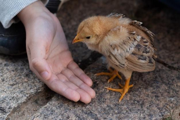 Feche acima da mão de uma criança que toma de um pintainho pequeno bonito. frango de bebê.