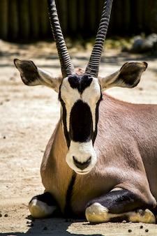 Feche acima da opinião um antílope do gemsbuck (gazella do oryx) em um jardim zoológico.