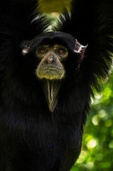Feche acima da opinião um macaco do gibbon do siamang (syndactylus do symphalangus).