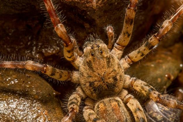Feche acima da opinião uma aranha do spinimana de zoropsis.