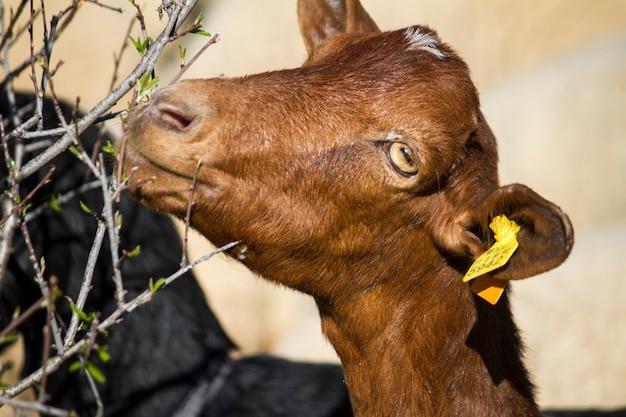 Feche acima da opinião uma cabra doméstica marrom que come as folhas de uma árvore.