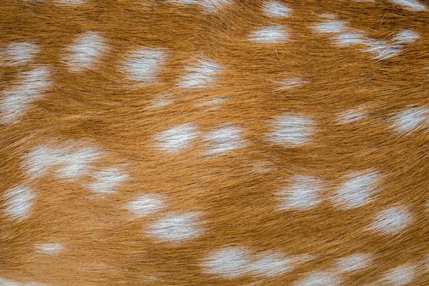 Feche acima da pele do cervo das manchas brancas da jovem corça.