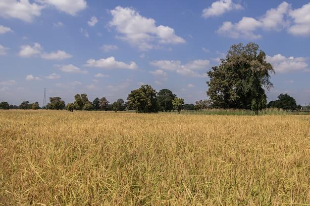 Feche acima da planta de arroz no fundo verde. arroz de foco seletivo em campo.