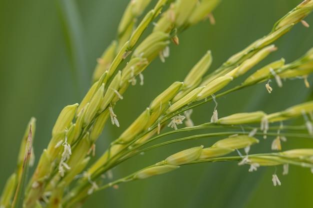 Feche acima da planta de arroz no fundo verde. arroz do foco seletivo no campo.