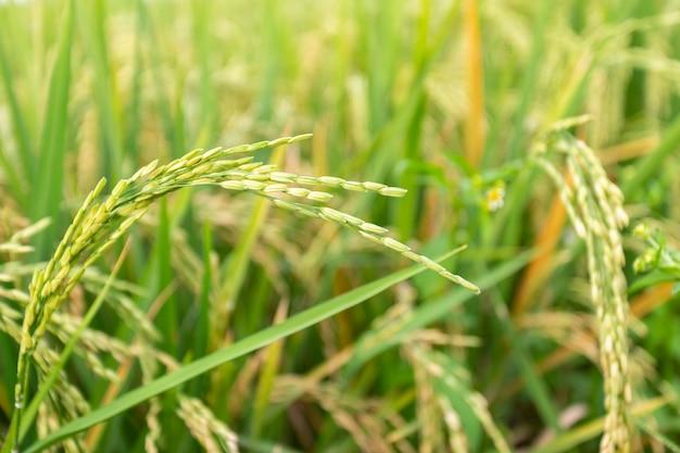 Feche acima da planta de arroz paddy.