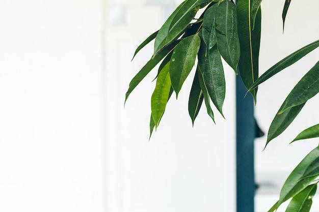 Feche acima da planta interna verde na parede branca