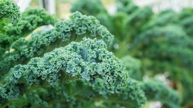 Feche acima da planta verde da couve encaracolado em um jardim vegetal.