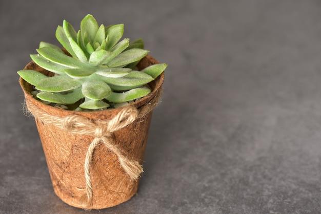 Feche acima da planta verde no potenciômetro de madeira no fundo cinzento com espaço da cópia.