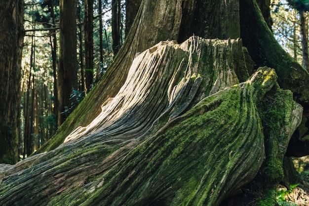 Feche acima da raiz gigante de pinheiros vivo longos com musgo na floresta na área de recreação nacional da floresta de alishan no condado de chiayi, distrito de alishan, taiwan.