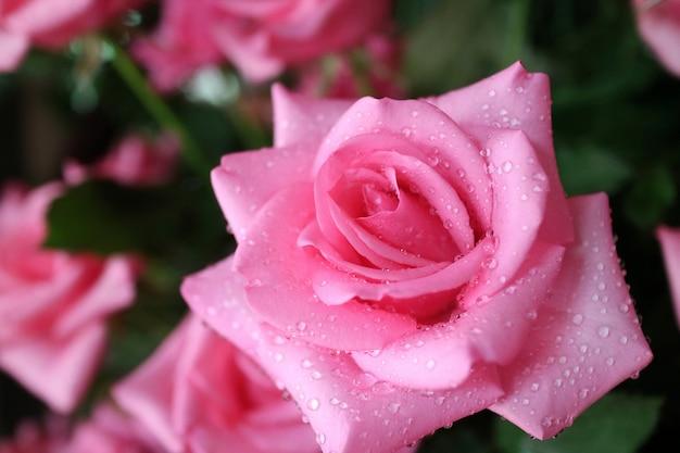 Feche acima da rosa bonita do rosa com gota da chuva pela manhã. natureza, flor e conceito de dia dos namorados.