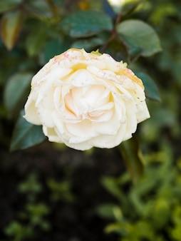 Feche acima da rosa branca simples