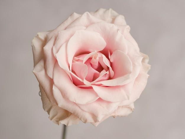 Feche acima da rosa natural do rosa