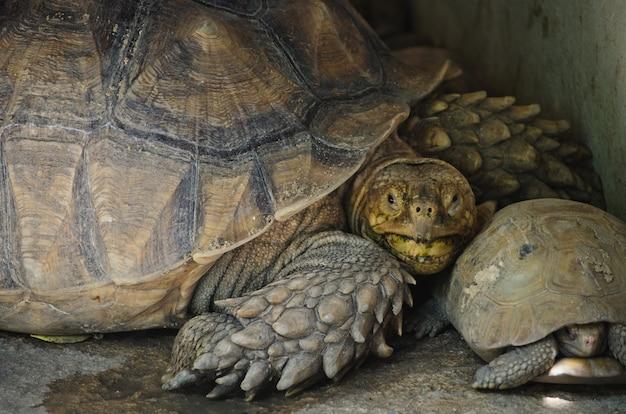 Feche acima da tartaruga alongada.