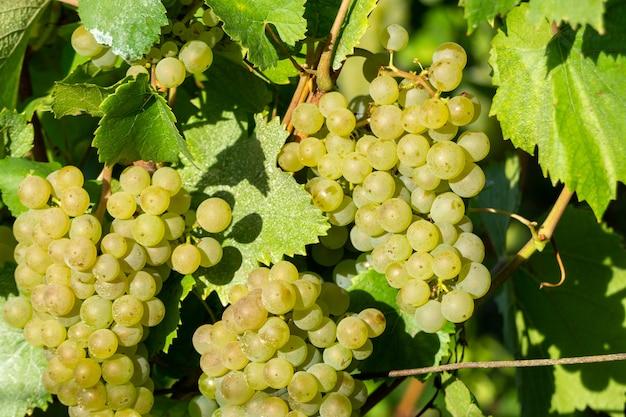 Feche acima da uva verde da videira nos vinhedos de champanhe em montagne de reims, reims, frança