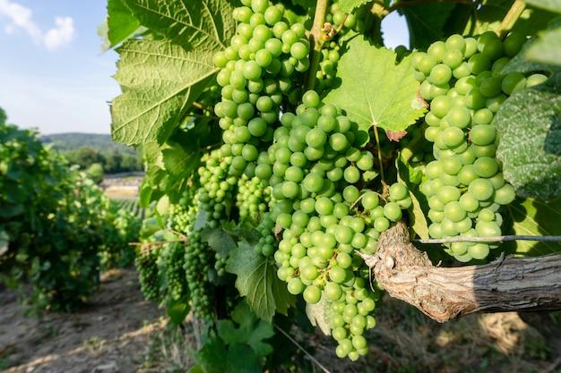 Feche acima da uva verde da videira nos vinhedos de champanhe no fundo da vila rural de montagne de reims, reims, frança